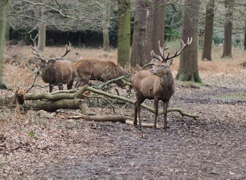 Stags Richmond Park UK