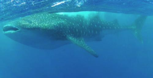 whale shark Hawaii The Big Island